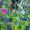 朝顔の花が咲かない原因は?肥料の選び方や沢山咲かせるコツ